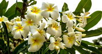 This plumeria and the following foliage photos are from on the Andaz property.