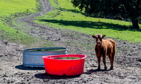 First to the drinking trough gets to choose.  Later, none of the cattle drank from the red trough.