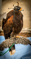 """Alaka"" is a Harris's hawk, and she is big and she is powerful and she knows it."