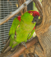 Thick-billed parrot, last known native parrot in North America