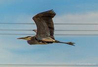 Blue Heron doing a high wire act.