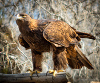 Golden Eagle, largest eagle in US