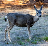 Garmin took us on a wild goose chase to find our Cambria B&B, but we saw 6 deer on the detour.