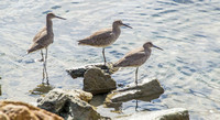 My guess:  Dowitchers